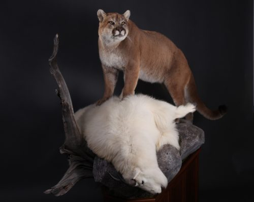 mt lion big game taxidermy